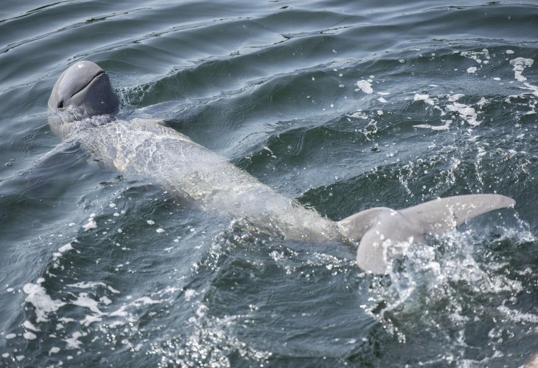 delfín Mekong en Kratie, Camboya