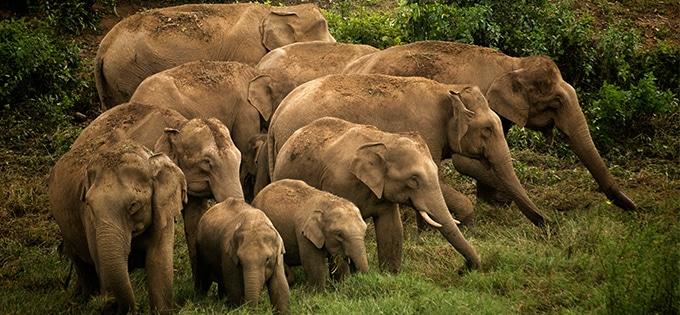 Elefantes_Camboya